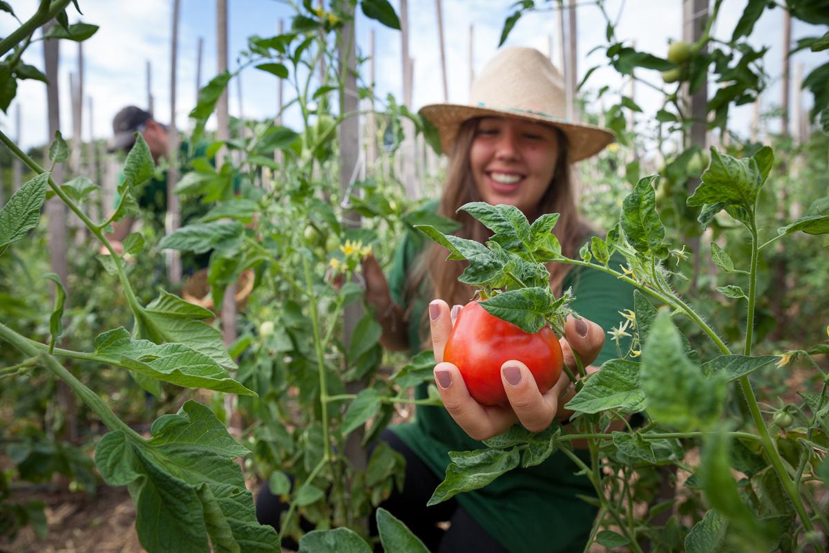 Gärtnerin erntet Bio-Tomaten in Ökogarten Bio-Gärtnerei in Mödling