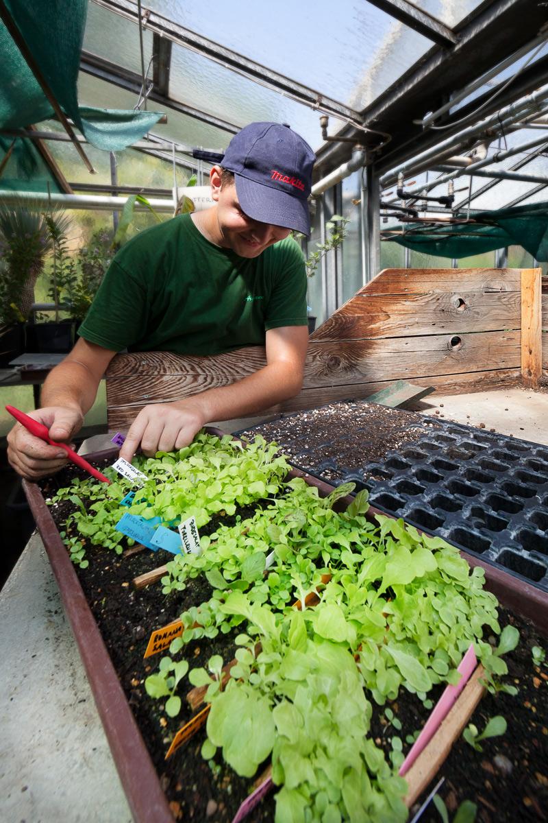 Gärtner pikiert Bio-Pflanzen im Glashaus der Ökogarten Bio-Gärtnerei in Mödling