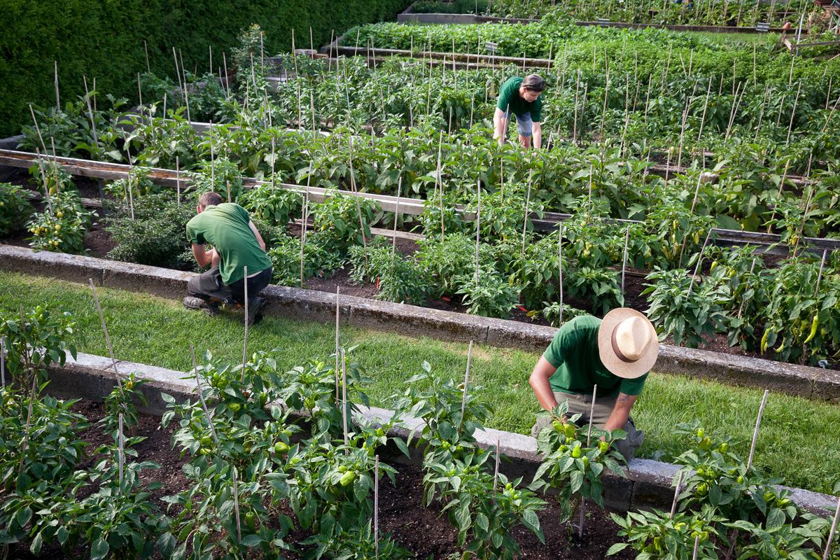 Gärtner ernten Biolebensmittel im Ökogarten Bio-Gärtnerei